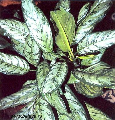 Cissus rhombifolia Žumen Cisus Fotografie 1  Zahrada