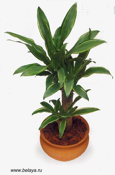 Драцена сантароза dracaena fragrans